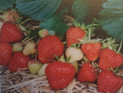 Jordbær planter. Honeoye og FF1604