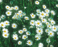 Hvid Okseøje, Marguerit, Chrysanthemum, Bright eye.