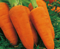 Gulerod, carrot chantenay red cored 2