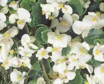 Begonia F1 Super Olympia Hvid
