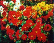 Dahlia Gartenfreude, fyldt blanding.