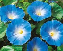 Ipomea Heavenly blue, Måneblomst Blå
