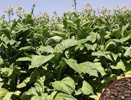 Nicotiana Virginia Ægte røgtobakplante frø