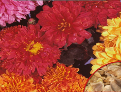 Chrysanthem Indicum, Vinterasters