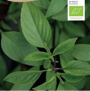 Basilikum Økologisk Thai