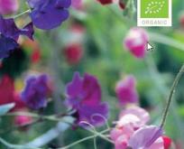 Lathyrus, ærteblomst mix af farver, økologisk frø
