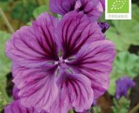 Mamelukærme mørk lilla Økologisk