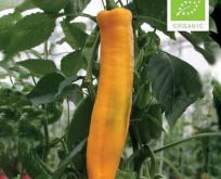 Paprika sød gul, zazu Økologisk