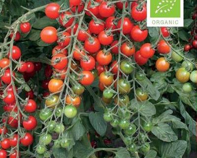 Tomat cherry, Bartelly F1 Økologisk