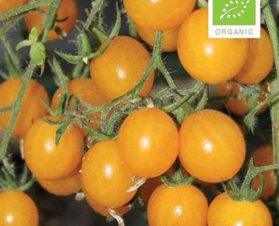 Tomat cherry gul, clementine Økologisk