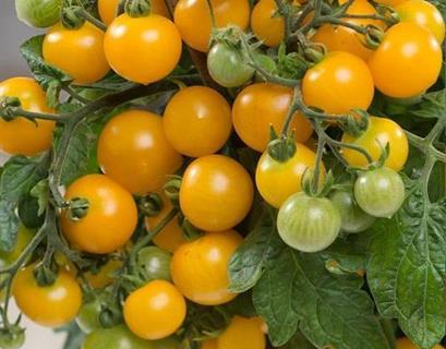 Tomat busk gul