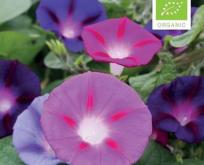 Tragtsnerle Økologisk, lilla blå