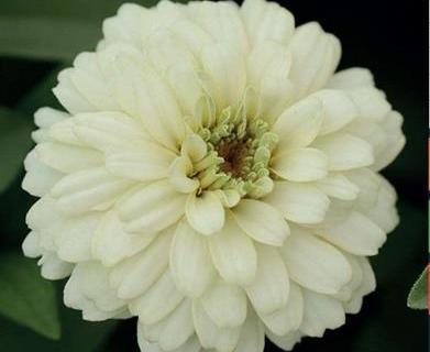 Zinnia hvid, Zahara Double White