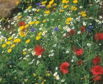 Kornblomster – mix indeholder 6 slags blomster.