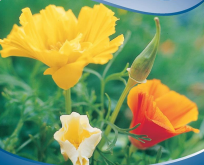 Guldvalmue Eschscholzia Mission Bells Blanding Californian Poppy