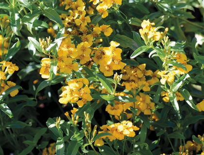 Mexicansk estragon – lakridstagetes krydderurt – stor pose.