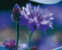 Kornblomst lav, Centaurea Baby Blue