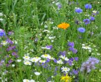 En og flerårig markblomst/sommerblomstblanding
