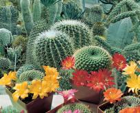Kaktus frø blanding, Cactaceae, pragtblanding