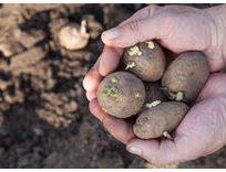 Læggekartoffel, King Edward, middelsen, mos