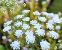 Ammi Majus – Kongeskærm Snowflake
