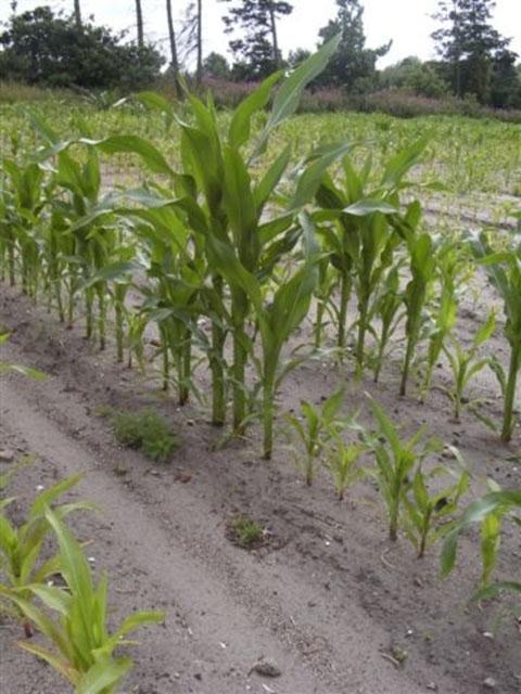 majs problem i forhold til ph