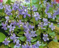 Viola Odorata martsviol 10 cm
