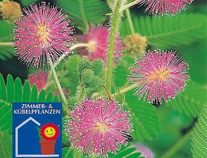 Mimosa pudica Rør-mig-ej