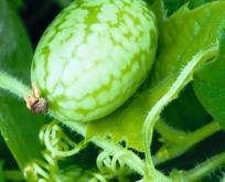 Minimelon