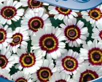 Okseøje, Chrysanthemum carinatum, tre-farvet