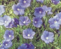 Oliehør blå blomster til jordforbedring