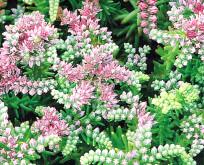 Sedum Pulchellum stenurt søstjerne