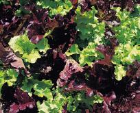 Salat Blandede rød og grøn