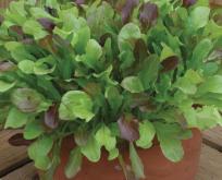 Salat Blanede sorter, rød og grøn