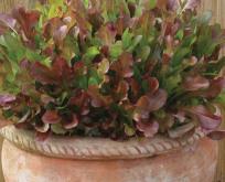 Salat Mix, røde blade, perfekt til potter