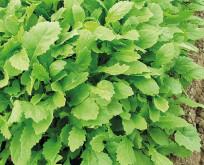 Rucola Wasabi smag