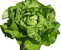 Salat drivsalat, Analena, drivhus