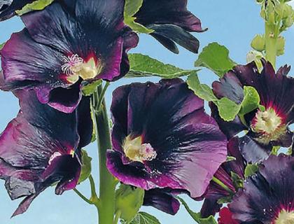 Althaea rosea Nigra Stokrose