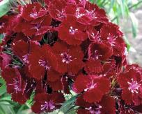 Dianthus barbatus, Nellike studenter Nigrica