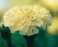 Tagetes erecta Vanilla F:1