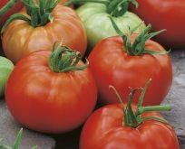 Tomat, Ace 55 VF, Økologisk frø