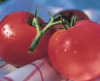 Tomat Driv/friland Harzfeuer F1 forbedret Gemini tidlig robust