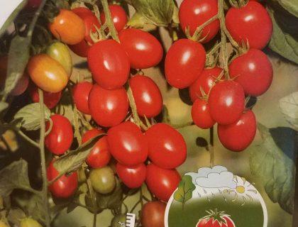 Tomat, romello, til potter udendørs.