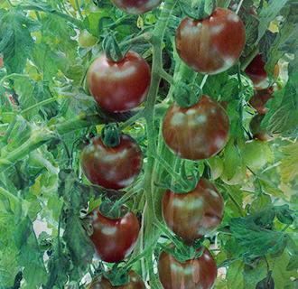 Tomat, Sunchocola F1