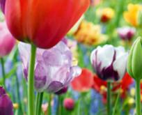 Tulipan løg – Smukke langvarige tulipaner giver smukke blomster.