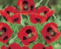 Valmue Papaver Poppy Ladybird