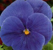 Viola witt.Riesen Vorbote Himmelblå