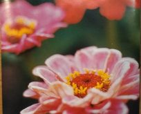 Zinnia Elegans Dahlia, pink røde farver.